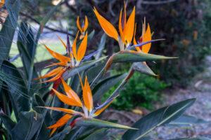 strelitzia-flower-photography