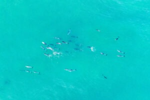 culburra_beach_dolphins